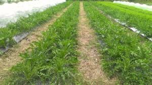 畑では西洋野菜を中心に80品目以上を栽培