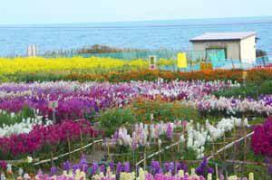 千田の花畑の画像