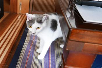 猫のグレイビーの画像2