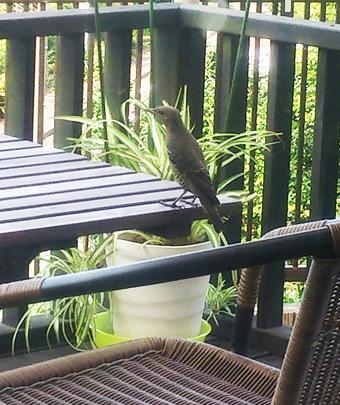 テラスに来る小鳥