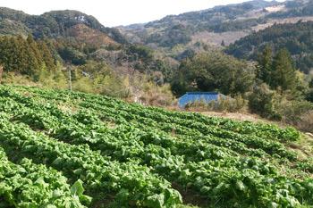 荒川地区の菜花畑
