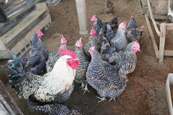 房総地鶏の餌やり体験