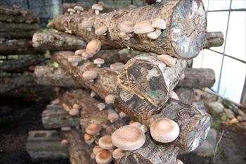 育てている原木シイタケ