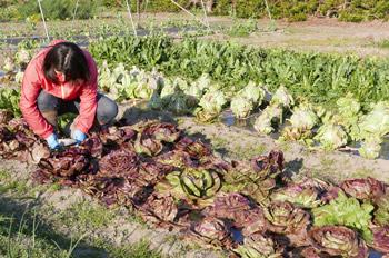 リーフチコリの収穫