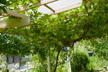 自家栽培の葡萄棚