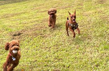 ボールで遊ぶ犬たち